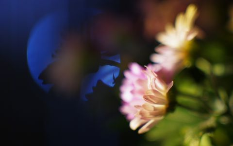 Nightly Chrysanthemums #39